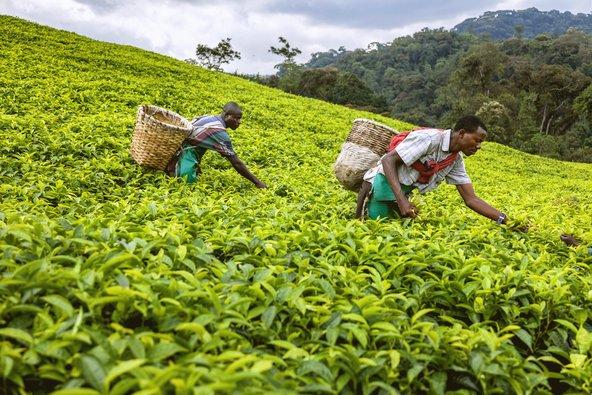 מטע תה ברואנדה. זוהי מדינה ירוקה ששמה דגש רב על שימור הסביבה והטבע