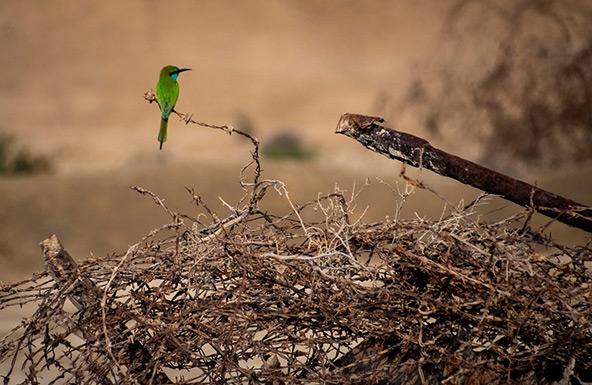 שרקרק על גדר תיל בארץ המנזרים | צילום: אורטל צבר