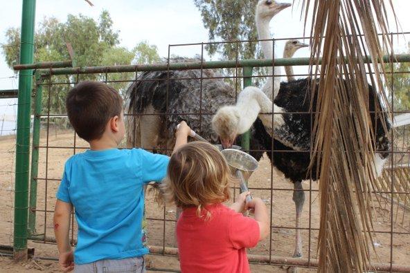 ילדים מאכילים יענים באל היען | צילום: אייל בריברם