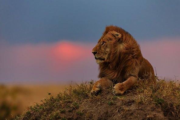 אריה בשמורת מסאי מארה בקניה