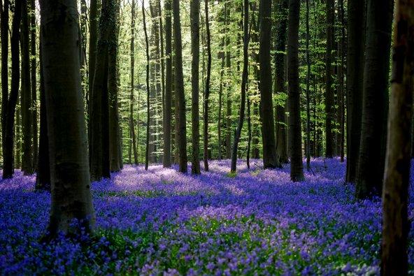 יער הלרבוס המכוסה במרבדי פעמוניות נראה כאילו לקוח מסיפור אגדה