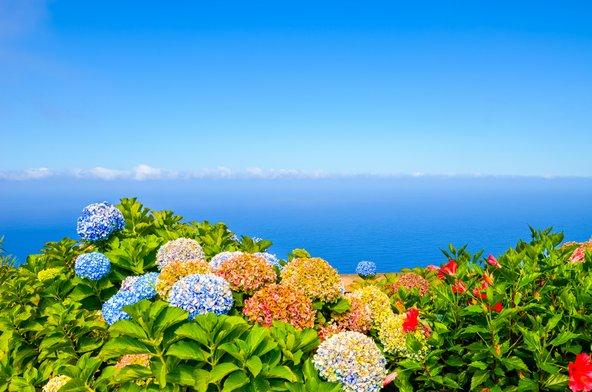 פרחי הורטנזיה במדיירה