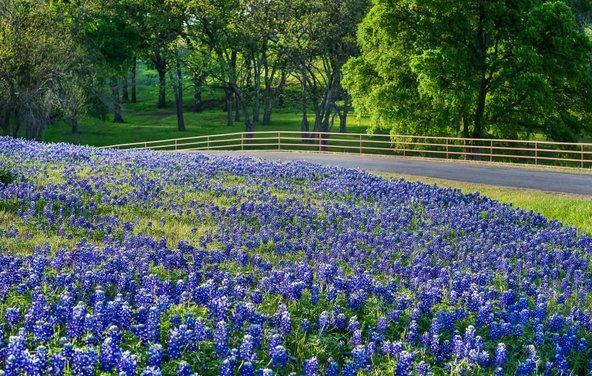 באביב בטקסס, במיוחד באזור הנקרא ארץ הגבעות, תורמוסים פורחים בכל מקום, גם בצדי הכבישים