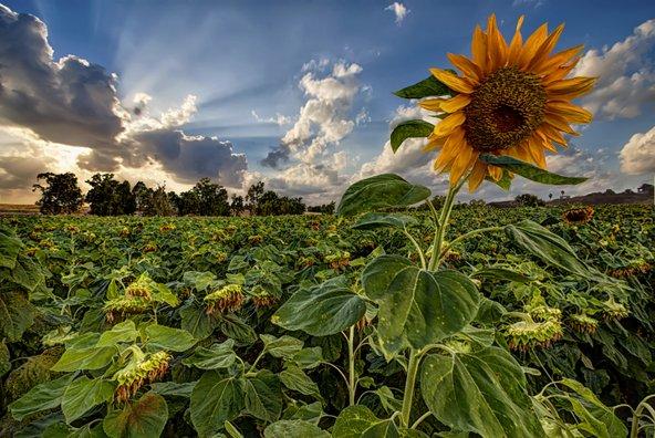 שדה חמניות בקיבוץ גזר | צילום: אלעד ספורטה, מתוך אתר פיקיויקי
