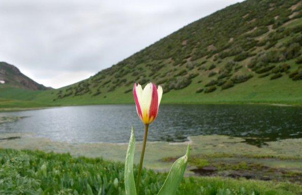 צבעוני פורח על שפת אגם בהרי טיאן שאן