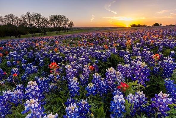 פריחת התורמוסים בטקסס