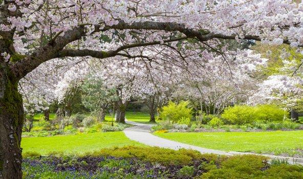 עצי דובדבן פורחים בפארק סטנלי בוונקובר