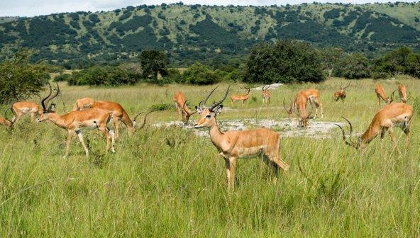 אימפלות בפארק הלאומי אקגרה