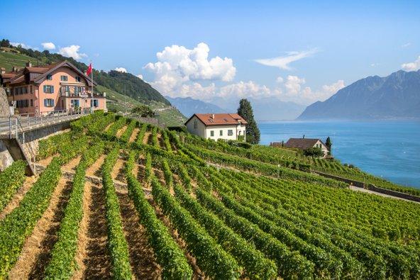 הכרמים של לאבו בשווייץ תלויים על מדרונות תלולים מעל אגם ז'נבה