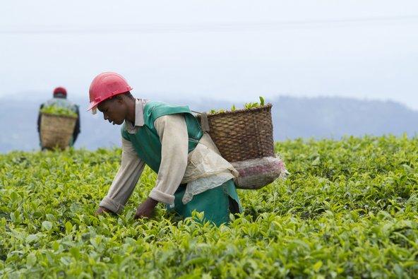 מטעי תה ברואנדה