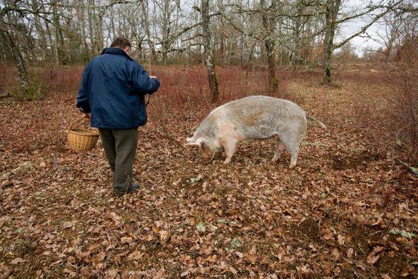 ציידי הכמהין משתמשים בכלבים או בחזירים, שמזהים את ריחן העז מתחת לאדמה