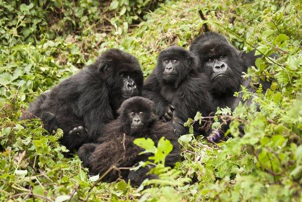 מפגש עם משפחת גורילות בפארק הלאומי וולקנוס, משיאי הביקור ברואנדה