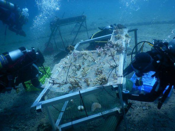 איסוף שברי אלמוגים (צילום אסא אורן ודור שפי)