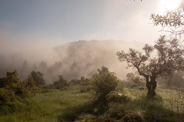 מלך העצים: עצי הזית בנוף ירושלים