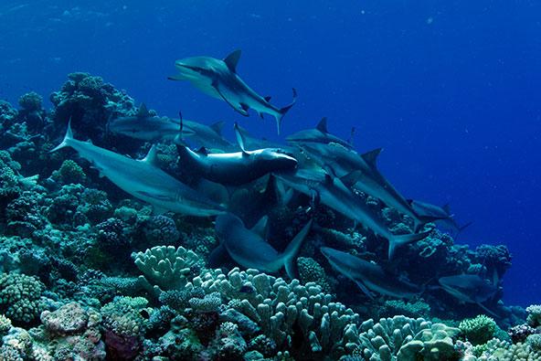 כרישים בשונית ליד חופי איי מרשל. יעד מעניין לצוללים חובבי הרפתקאות