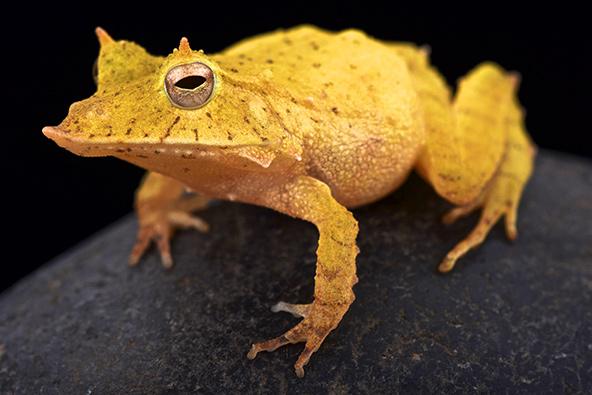 חובבי צפרדעים ודאי ישמחו לפגוש את הצפרדע הזאת, צפרדע עלים מאיי שלמה