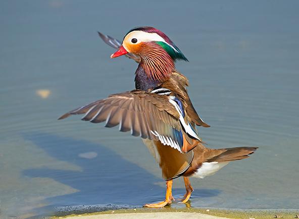 מנדרין סיני פורש כנפיים. קשה להישאר אדיש למראה צבעיו הבולטים | צילומים בכתבה: שלמה ולדמן