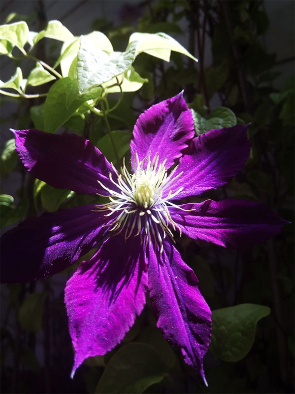 שרה קליין, פרח סגול