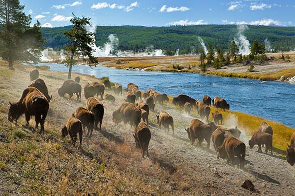עדר של ביזונים בשמורת ילוסטון. התקופה שבה הפארקים הלאומיים היו סגורים היטיבה עם בעלי החיים