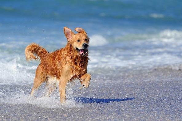 רוב הכלבים אוהבים מאוד את הים, אבל חשוב להקפיד על כמה כללים כדי להגן אליהם