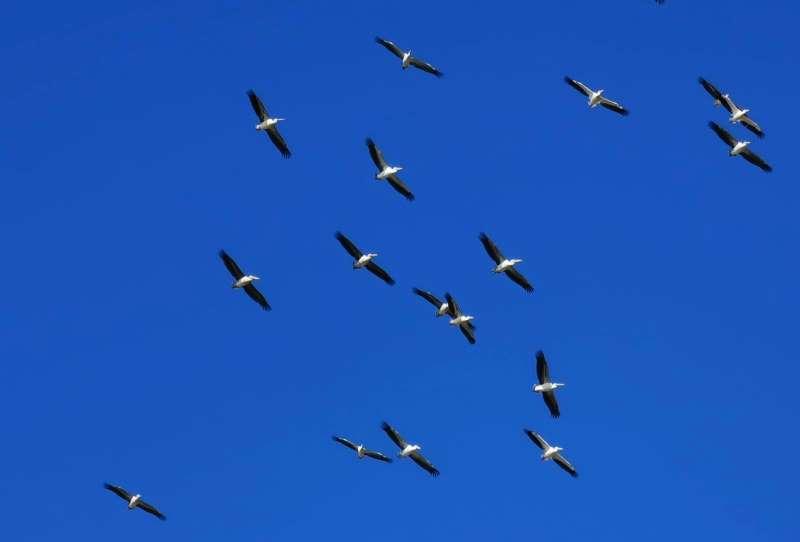 להקות של שקנאים יורדים מן השמיים