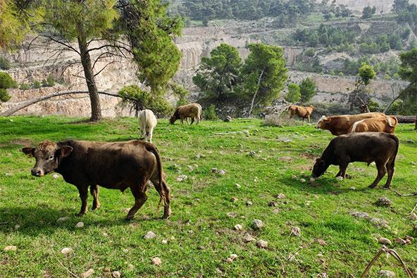 פרות רועות בגלבוע