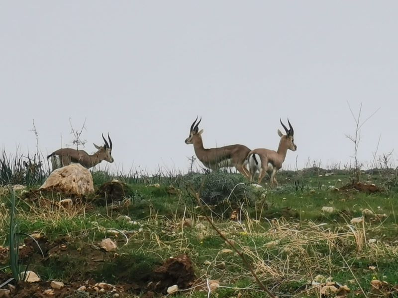 Plenty of deer in the Land of Israel roamed the wild areas and agricultural fields of the Uja Valley