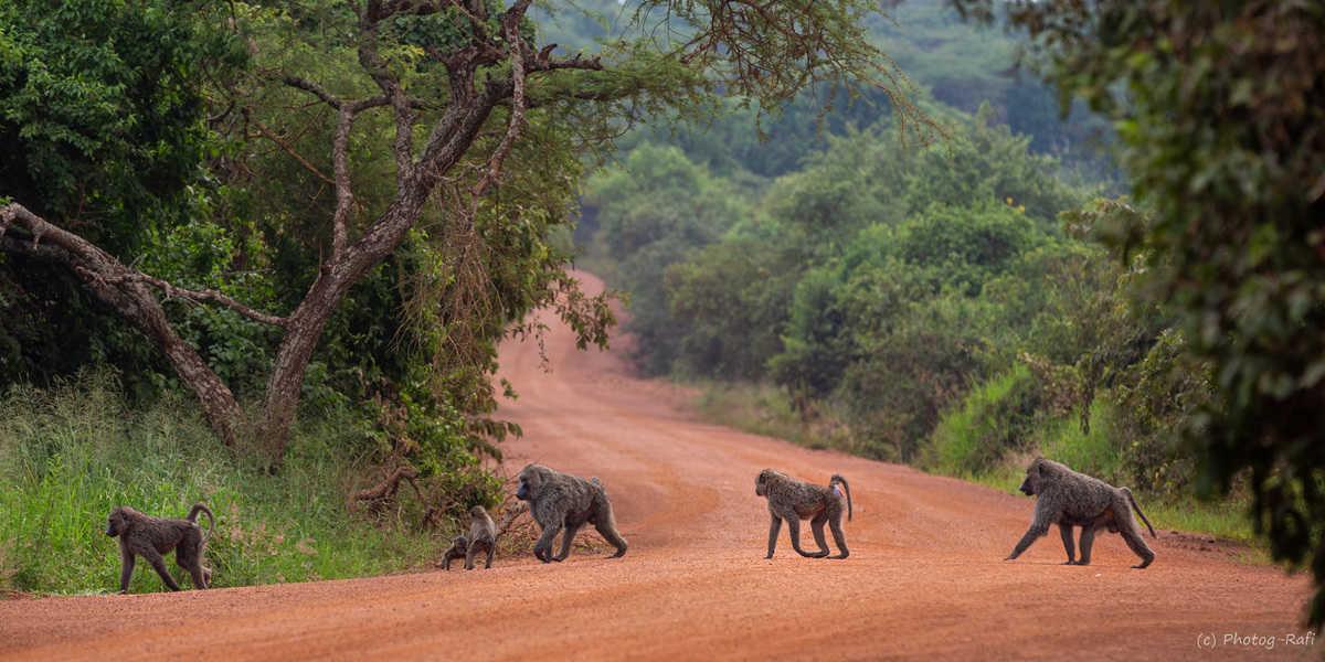משפחת קופים בשמורת אקגרה. צילום רפי קורן