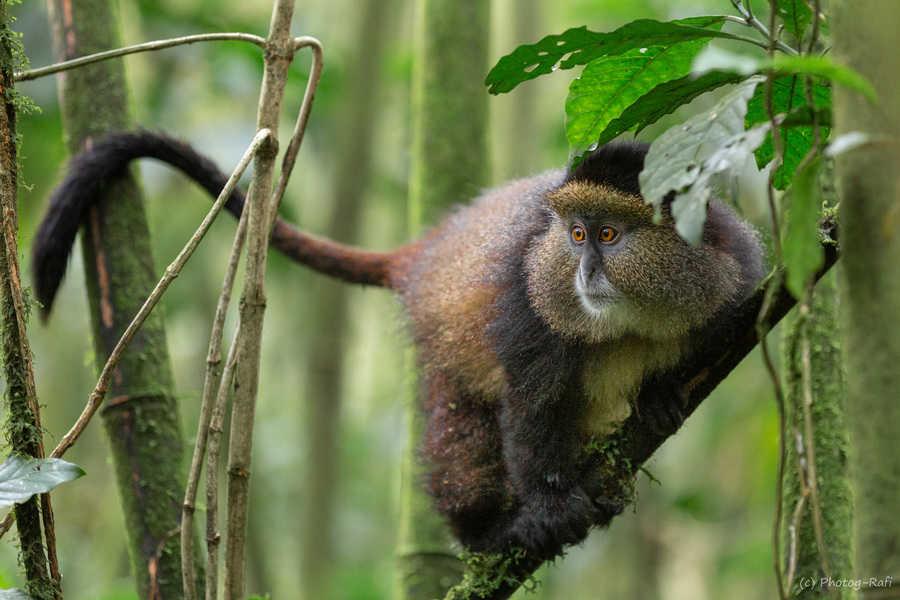 קופים זהובים במפגש מקרוב. צילום רפי קורן