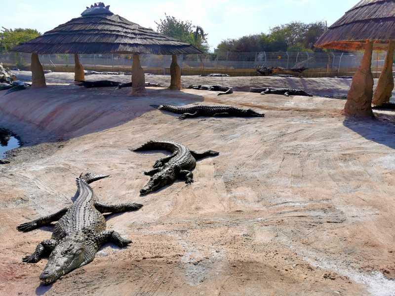 עופר עבר בהמשך לאפריקה והמשיך להקים ולנהל חוות תנינים בדרום אפריקה ובקניה שנים רבות, עד שהחליט לעשות עליה עם התנינים בחזרה לישראל והתיישב בערבה