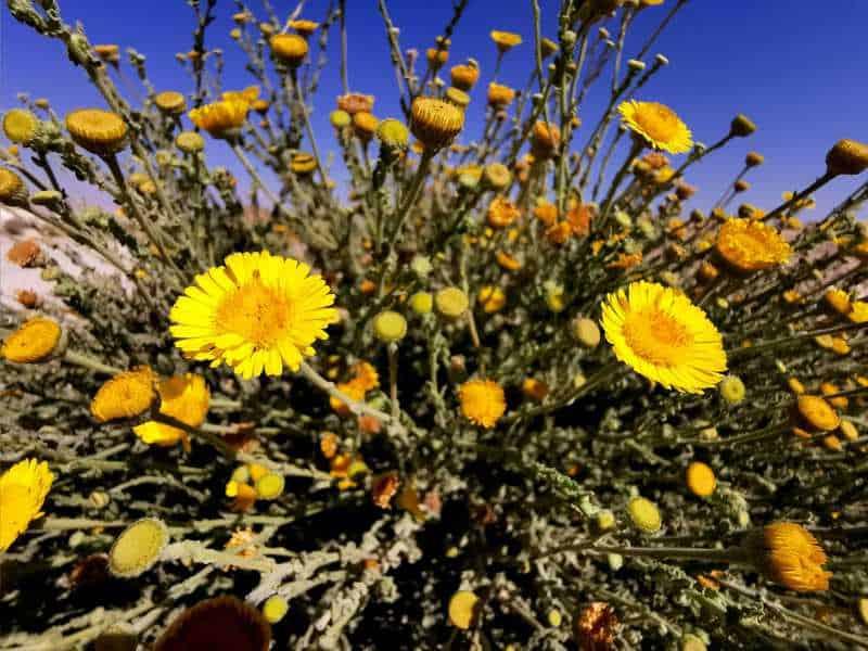 הפרעושית פרחה בכריות של פרחים צהובים דמויי שמש וקרניים והפיצה ריחות נעימים
