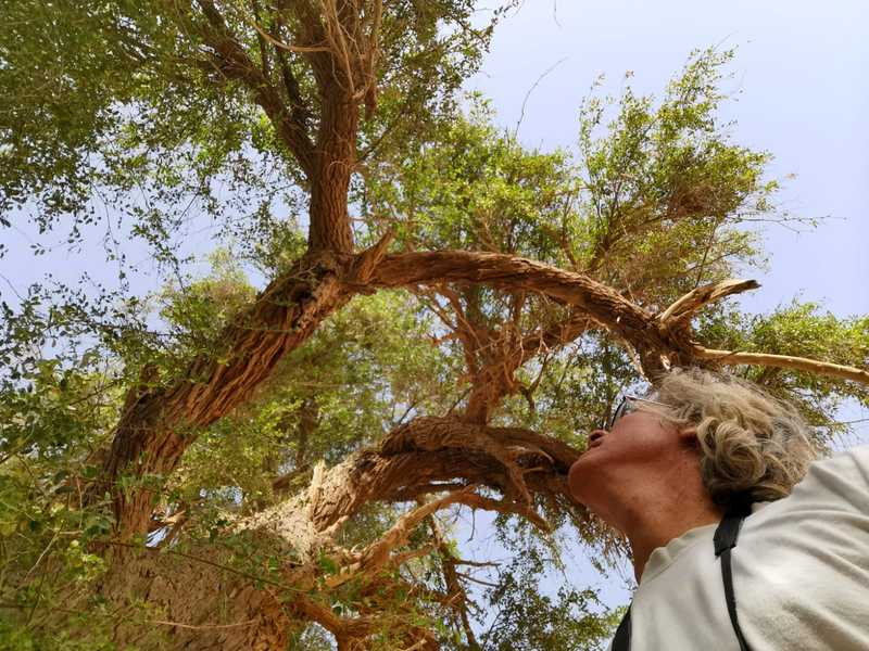 עץ השיזף המופלא עדיין חי וקיים עב גזע ומרבה ענפים לצד חורבות העיר המקראית תמר. מעריכים שהוא בן שלוש מאות שנים