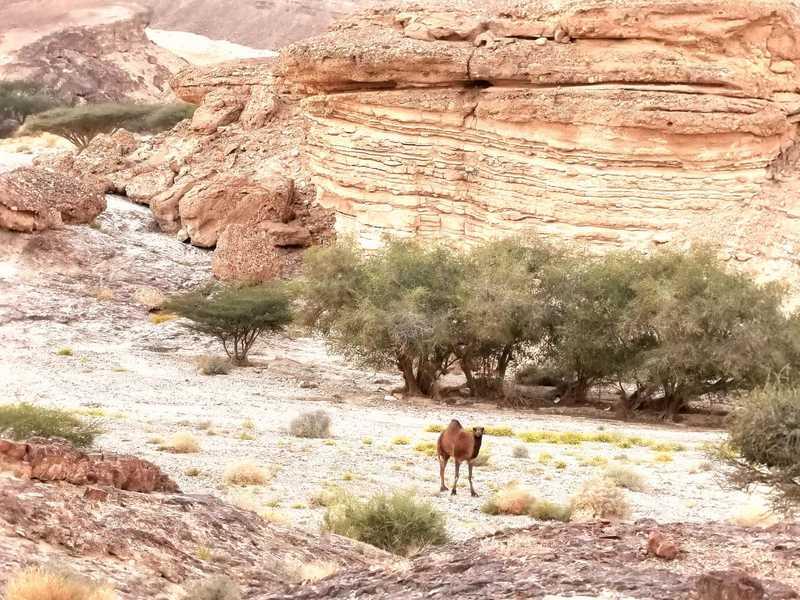 שיירות הגמלים עברו בערוצים היורדים מן הנגב אל הערבה