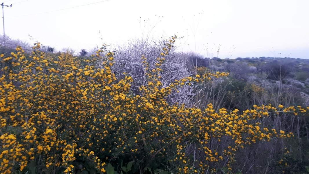 באביב ניצבע הכביש בפרחי עץ השקד הפזורים לאורכו, ויחד עם הצהוב של הקידה השעירה, מתקבלת חגיגה צבעונית ושובת לב