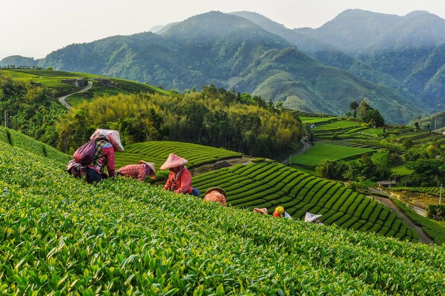 Photo: Oolong Tea garden at Alishan in Chiayi, Taiwan Photo credit: Shutterstock.com / weniliou