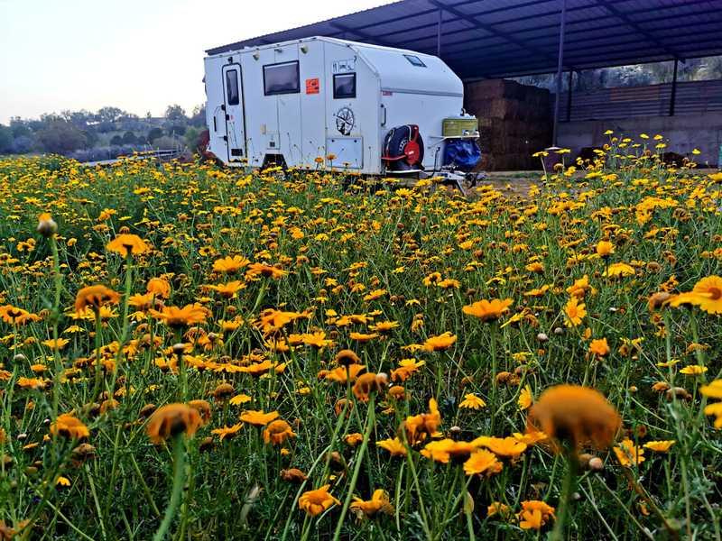 הקרוואן שלי חונה בלב שדה חרציות צהוב, ליד אסם החציר וצמוד לפתח אזור המחיה של הפרות החומות