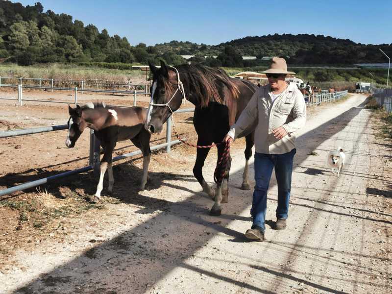 דני גולד צעיר בגיל פרישה נד בין הרצון להמשיך ולהיות מעורב בעסקי הפיצות שהכניסו לכיסו טבין ותקילין לבין החלום לפרוש לגמריי ולהתמסר לאהבתו לסוסים