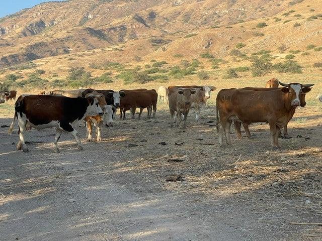 פרות חוצות את הדרך. ממראות טיול רייזרים בדרום רמת הגולן
