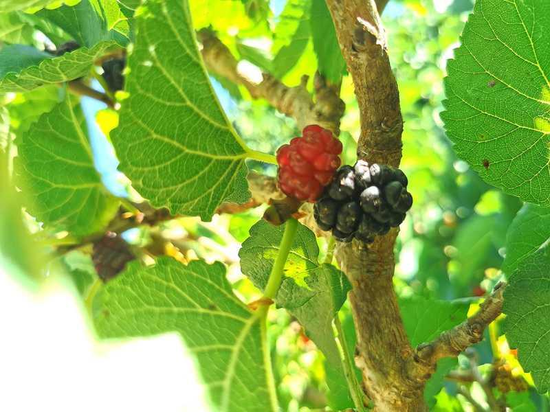 עצי התות מזן שאמי בפינת החי של הקיבוץ הסמוך למרגלות הר מירון בשלים ונוטפים עסיס אדום כדם