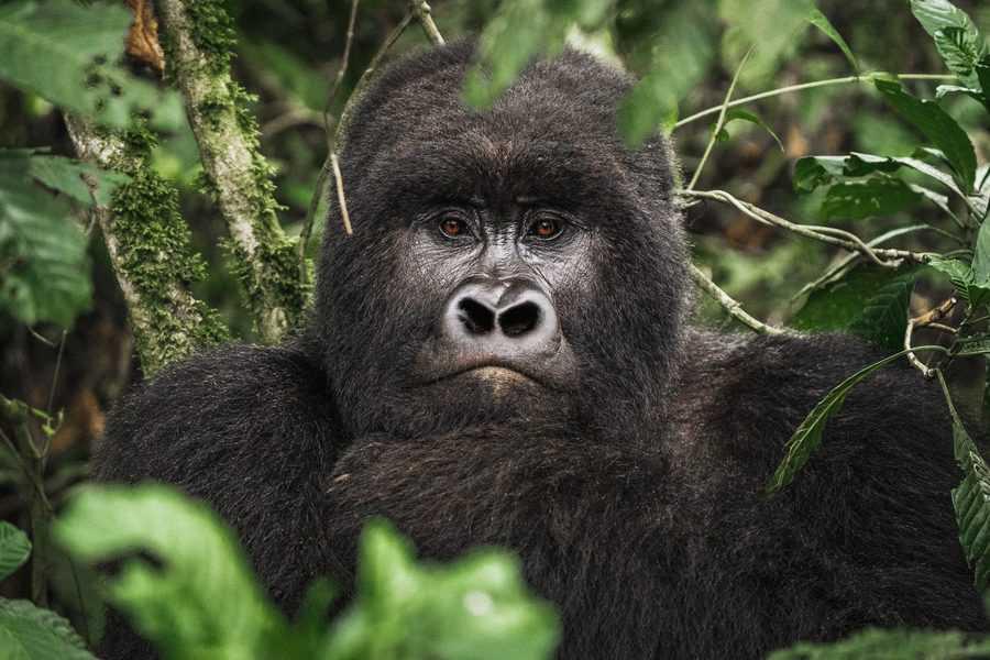 בעקבות גורילות ההרים ברואנדה