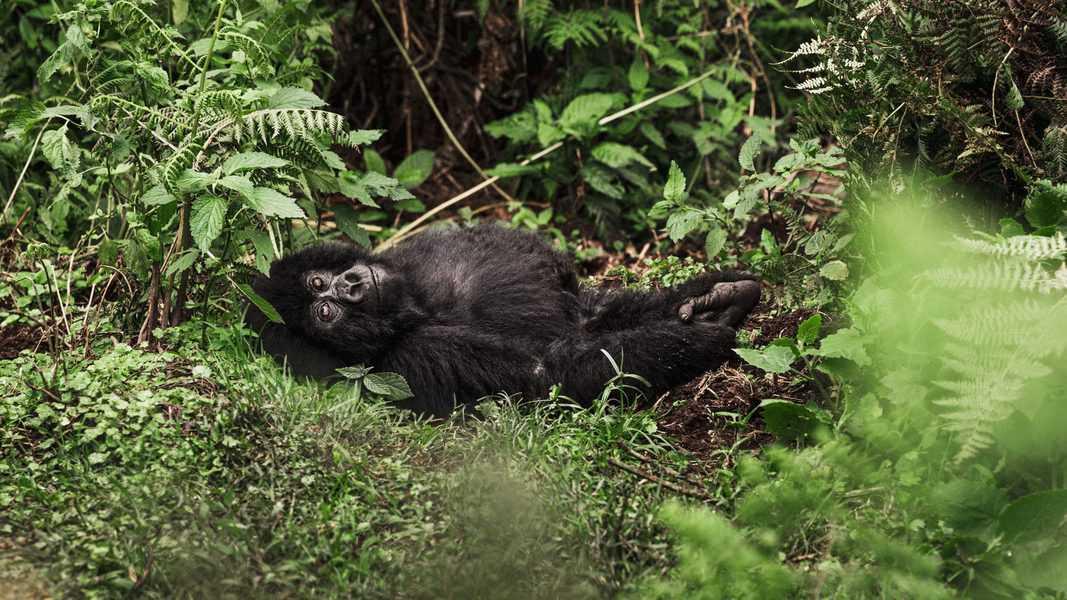 גורילה צעיר משתעשע ביער