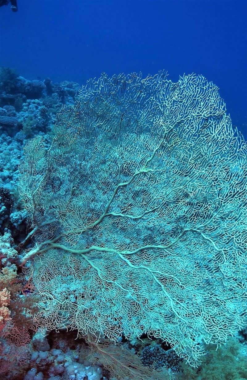 אלמוג גורגוניה - מניפות ענק אלו מאפיינות את אתרי הצלילה של דרום סיני. צילום: חוסאם יוסף
