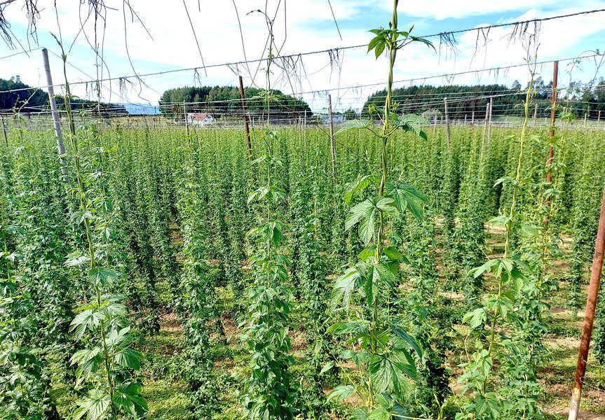 שדה של כשות, צמח עשבוני שאחראי לארומה של הבירה